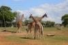 Yorkshire Wildlife Park - Giraffes
