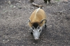 Yorkshire Wildlife Park VIP Trip - Feeding Bella the Red River Hog