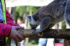 Yorkshire Wildlife Park VIP Trip - Giving the Ring-Tailed Lemurs a treat