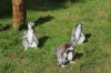 Yorkshire Wildlife Park VIP Trip - Ring-Tailed Lemurs enjoying the afternoon sunshine