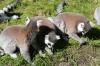 Yorkshire Wildlife Park VIP Trip - Ring-Tailed Lemurs enjoying the afternoon sunshine