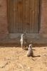 Yorkshire Wildlife Park - Meerkats