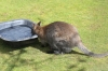 Yorkshire Wildlife Park - Wallaby with baby in pouch