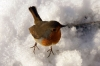 Tame Robin at Conisbrough Castle