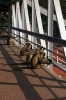 Monkeys, not quite blending in with the locals, on the footbridge at Jamalpur Jct railway station