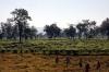 Tea plantations near Silghat, Assam