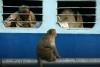 Monkey's at Kasganj Jct, Uttar Pradesh