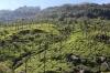 Glendale Tea Estate on the Nilgiri Mountain Railway, seen near Runneymede