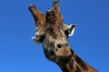 Yorkshire Wildlife Park VIP Trip May 2018 - feeding Giraffe's