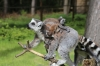 Yorkshire Wildlife Park VIP Trip May 2018 - Ring-tailed Lemurs