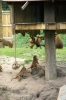 Guinea Baboons - Yorkshire Wildlife Park