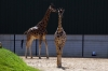 Giraffes - Yorkshire Wildlife Park