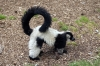 Black & White Ruffed Lemur - Yorkshire Wildlife Park