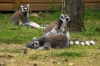 Ring-tailed Lemurs - Yorkshire Wildlife Park