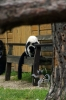 Black & White Ruffed and Ring-tailed Lemurs - Yorkshire Wildlife Park