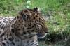 Amur Leopard - Yorkshire Wildlife Park