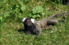 Marmoset - Yorkshire Wildlife Park