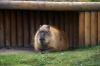Capybara - Yorkshire Wildlife Park