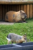 Mara & Capybara - Yorkshire Wildlife Park