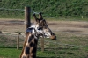 Giraffe - Yorkshire Wildlife Park