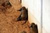 Guinea Baboons - Yorkshire Wildlife Park