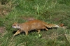 Mongoose - Yorkshire Wildlife Park