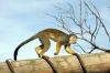 Squirrel Monkey - Yorkshire Wildlife Park