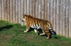 Tiger - Yorkshire Wildlife Park